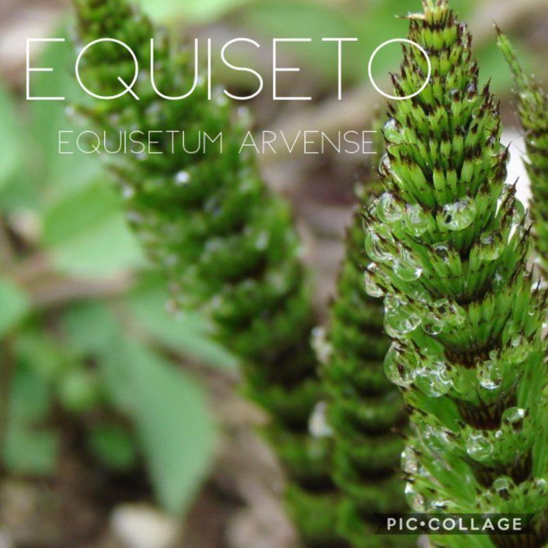 Equiseto (Equisetum arvense)