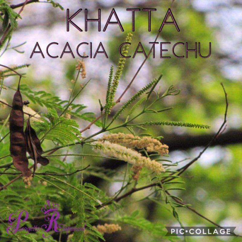 Kattha – Acacia Catechu – L'antico albero in fiore
