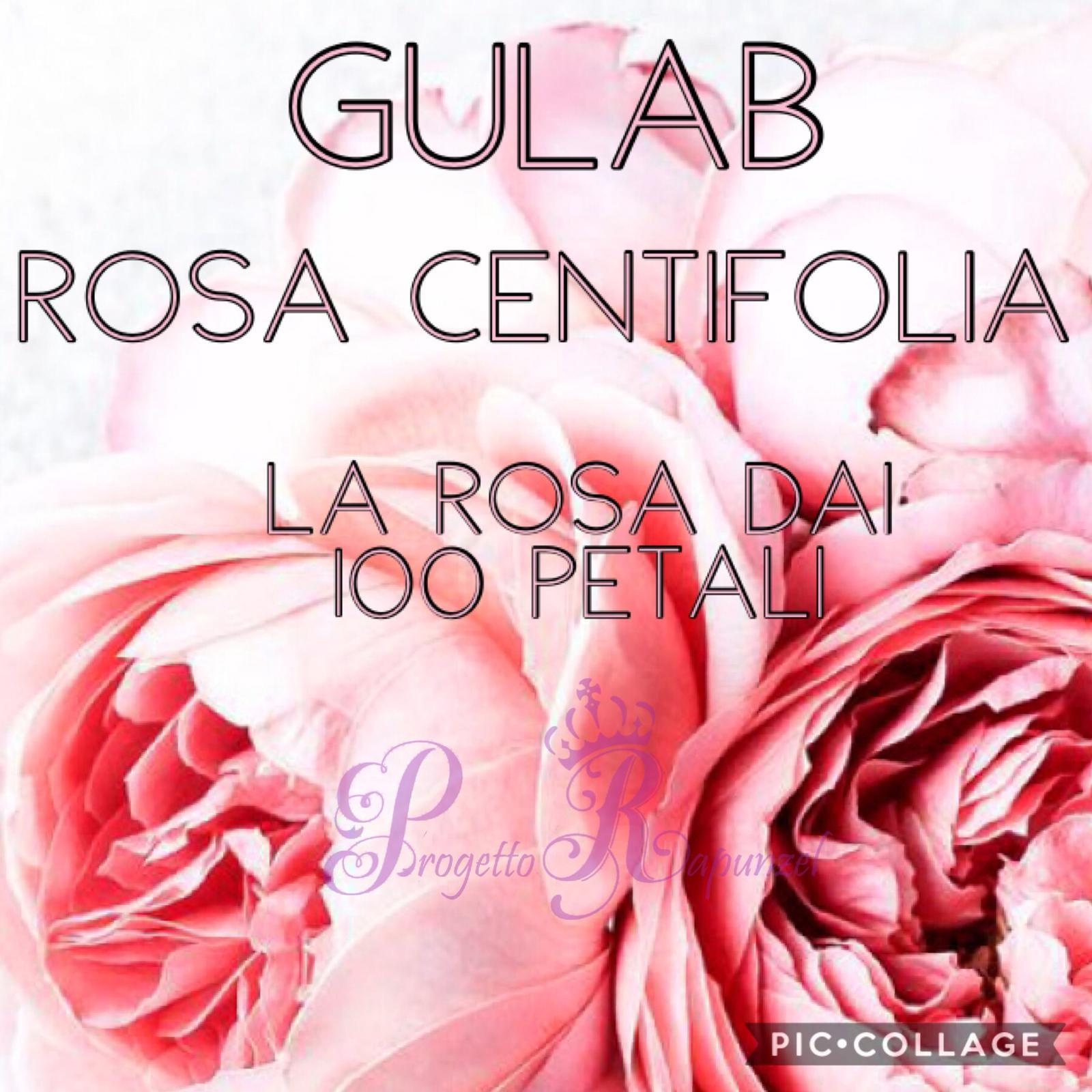 """GULAB – ROSA CENTIFOLIA  """"LA ROSA DAI 100 PETALI"""""""