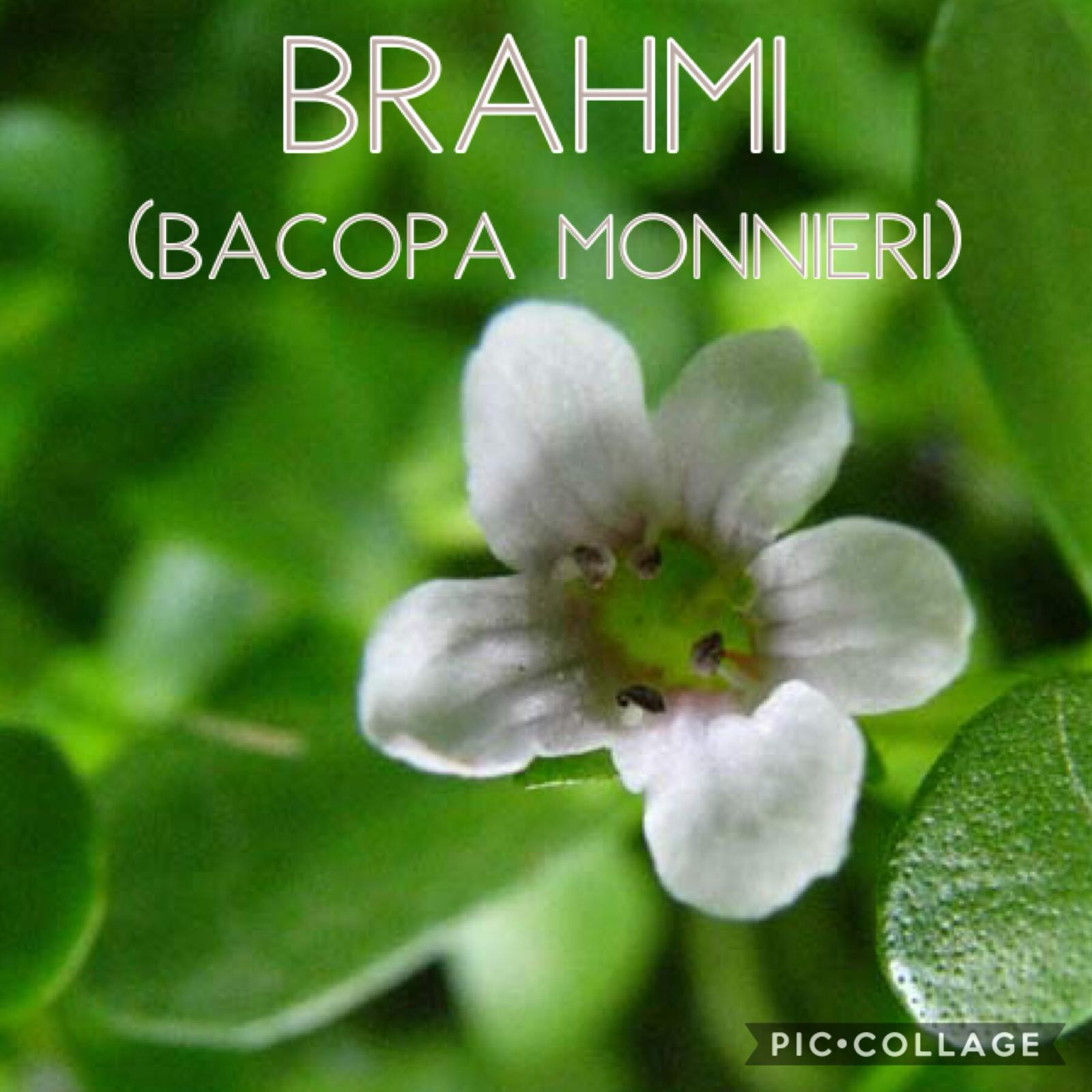 Brahmi (Bacopa Monnieri – Isopo d'acqua)